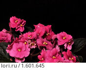 Купить «Розовая узамбарская фиалка (сенполия)», фото № 1601645, снято 27 марта 2010 г. (c) Макарова Елена / Фотобанк Лори