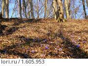 Купить «Печеночница цветет», фото № 1605953, снято 4 апреля 2010 г. (c) Качанов Владимир / Фотобанк Лори