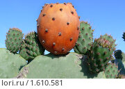 Плод кактуса. Стоковое фото, фотограф Valentina Dimitrova / Фотобанк Лори