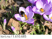 Купить «Первоцветы, шмель и пчела», фото № 1610685, снято 6 апреля 2010 г. (c) Наталья Волкова / Фотобанк Лори