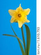 Купить «Нарцисс (лат. Narcissus).», фото № 1610793, снято 5 апреля 2010 г. (c) Федор Королевский / Фотобанк Лори