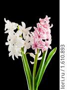 Купить «Гиацинт (лат. Hyacínthus)», фото № 1610893, снято 5 апреля 2010 г. (c) Федор Королевский / Фотобанк Лори