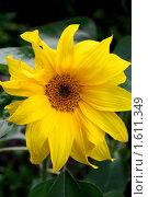 Купить «Подсолнух», фото № 1611349, снято 22 августа 2009 г. (c) Хайрятдинов Ринат / Фотобанк Лори