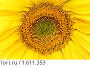 Купить «Подсолнух», фото № 1611353, снято 22 августа 2009 г. (c) Хайрятдинов Ринат / Фотобанк Лори