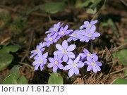 Купить «Первоцветы - печеночница», фото № 1612713, снято 6 апреля 2010 г. (c) Наталья Волкова / Фотобанк Лори