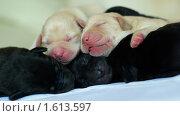 Спящие щенки лабрадора. Стоковое фото, фотограф Алексей Чухутин / Фотобанк Лори