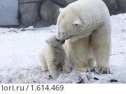 Купить «Медвежонок и медведица», фото № 1614469, снято 11 марта 2010 г. (c) Яременко Екатерина / Фотобанк Лори
