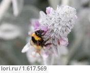 Купить «Цветок и шмель», фото № 1617569, снято 23 июня 2009 г. (c) Parmenov Pavel / Фотобанк Лори