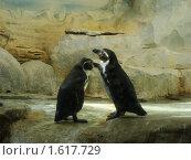 Два пингвина. Стоковое фото, фотограф sfsfs / Фотобанк Лори