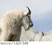 Купить «Снежная коза», фото № 1621549, снято 27 марта 2010 г. (c) Щеголева Ольга / Фотобанк Лори