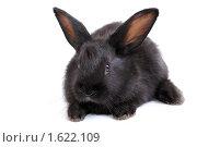 Купить «Черный крольчонок», фото № 1622109, снято 6 апреля 2010 г. (c) Глазков Владимир / Фотобанк Лори