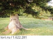 Купить «Корень старой пихты», фото № 1622281, снято 30 ноября 2008 г. (c) Анна Мартынова / Фотобанк Лори