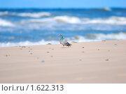 Окольцованный голубь возле моря. Стоковое фото, фотограф Александр Букша / Фотобанк Лори