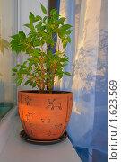 Купить «Фикус Бенджамина в керамическом горшке на подоконнике», фото № 1623569, снято 9 апреля 2010 г. (c) Алексей Баринов / Фотобанк Лори