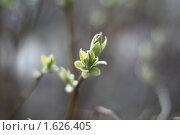 Купить «Весна. Распускаются почки», фото № 1626405, снято 13 апреля 2010 г. (c) Яременко Екатерина / Фотобанк Лори