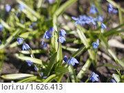 Купить «Пролески», фото № 1626413, снято 13 апреля 2010 г. (c) Яременко Екатерина / Фотобанк Лори