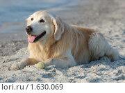 Купить «Собака голден ретривер на пляже», фото № 1630069, снято 26 января 2010 г. (c) крижевская юлия валерьевна / Фотобанк Лори