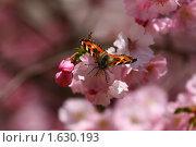 Купить «Цветущая сакура с бабочкой», фото № 1630193, снято 14 апреля 2010 г. (c) Ельчанинов Вячеслав / Фотобанк Лори
