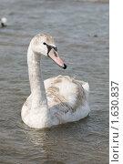 Купить «Лебедь», фото № 1630837, снято 21 марта 2010 г. (c) Самофалов Владимир Иванович / Фотобанк Лори