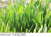 Купить «Молодые листья», фото № 1632065, снято 4 апреля 2010 г. (c) Наталия Шевченко / Фотобанк Лори