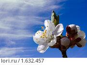 Купить «Цветущий абрикос», фото № 1632457, снято 20 сентября 2019 г. (c) severe / Фотобанк Лори
