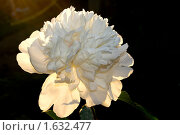 Купить «Цветок белого пиона», фото № 1632477, снято 21 июня 2009 г. (c) Хайрятдинов Ринат / Фотобанк Лори