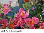 Розовые цветы. Стоковое фото, фотограф Гаянэ Григорян / Фотобанк Лори