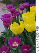Желтые и фиолетовые тюльпаны. Стоковое фото, фотограф Гаянэ Григорян / Фотобанк Лори