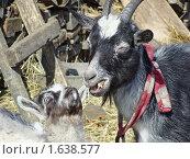 Купить «Маленький козленок заглядывает в рот большой козе. Шеф, вы что-то сказали?», фото № 1638577, снято 4 апреля 2010 г. (c) Емельянова Светлана Александровна / Фотобанк Лори