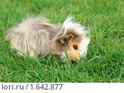 Купить «Морская свинка в траве», фото № 1642877, снято 2 августа 2009 г. (c) Losevsky Pavel / Фотобанк Лори
