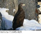 Купить «Орел в Московском зоопарке», фото № 1645429, снято 6 февраля 2010 г. (c) LightLada / Фотобанк Лори