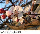 Цветение абрикоса. Стоковое фото, фотограф Кеша Валерианов / Фотобанк Лори