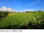 Купить «Рисовое поле в Индонезии», фото № 1652133, снято 28 февраля 2010 г. (c) Сергей Краснощеков / Фотобанк Лори