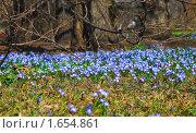 Купить «Хионодокса (Chionodoxa) на поляне», эксклюзивное фото № 1654861, снято 26 апреля 2009 г. (c) Алёшина Оксана / Фотобанк Лори