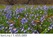 Купить «Цветы Хионодокса (Chionodoxa) на поляне», фото № 1655089, снято 28 апреля 2009 г. (c) Алёшина Оксана / Фотобанк Лори