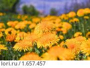 Купить «Одуванчики (Taraxacum) весной», эксклюзивное фото № 1657457, снято 19 мая 2009 г. (c) Алёшина Оксана / Фотобанк Лори