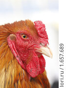 Купить «Рыжая курица», эксклюзивное фото № 1657689, снято 23 апреля 2010 г. (c) Дмитрий Неумоин / Фотобанк Лори