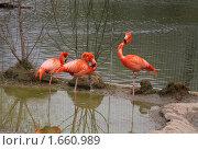 Купить «Розовые фламинго в Московском зоопарке», фото № 1660989, снято 24 апреля 2010 г. (c) Наталья Волкова / Фотобанк Лори