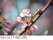 Купить «Цветы и бутоны на ветке сакуры», фото № 1662285, снято 26 апреля 2010 г. (c) Галина Короленко / Фотобанк Лори