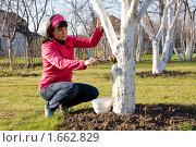 Купить «Побелка деревьев на приусадебном участке», фото № 1662829, снято 27 апреля 2010 г. (c) Андрей Батурин / Фотобанк Лори