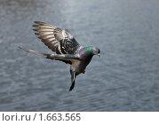 Купить «Голубь в полете», фото № 1663565, снято 27 апреля 2010 г. (c) Argument / Фотобанк Лори