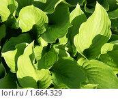 Купить «Зеленые листья. Фон.», эксклюзивное фото № 1664329, снято 27 мая 2007 г. (c) Михаил Карташов / Фотобанк Лори
