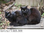 Купить «Два черных кота сидят на ящике», фото № 1665309, снято 24 апреля 2010 г. (c) Есакова Мария / Фотобанк Лори