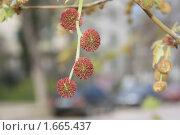 Купить «Сережки клена», фото № 1665437, снято 23 апреля 2010 г. (c) Nina Luganskaya / Фотобанк Лори