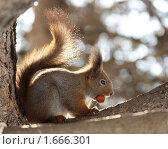 Купить «Белка с орехом на дереве в парке», фото № 1666301, снято 18 марта 2010 г. (c) Ольга Рындина / Фотобанк Лори