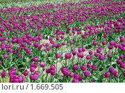 Купить «Поля тюльпанов», фото № 1669505, снято 18 апреля 2010 г. (c) Олеся Ефименко / Фотобанк Лори