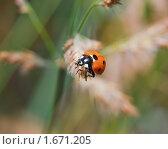 Купить «Божья коровка на семенах сухой травы», эксклюзивное фото № 1671205, снято 17 августа 2009 г. (c) Алёшина Оксана / Фотобанк Лори