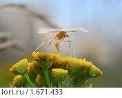 Сумеречная бабочка Пальцекрылка (Pterophorus pentadactyla). Макро. Стоковое фото, фотограф Алёшина Оксана / Фотобанк Лори