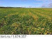 Купить «Соевое поле», фото № 1674357, снято 4 сентября 2008 г. (c) Мирзоянц Андрей / Фотобанк Лори