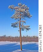 Купить «Сосна», фото № 1674361, снято 24 февраля 2008 г. (c) Мирзоянц Андрей / Фотобанк Лори